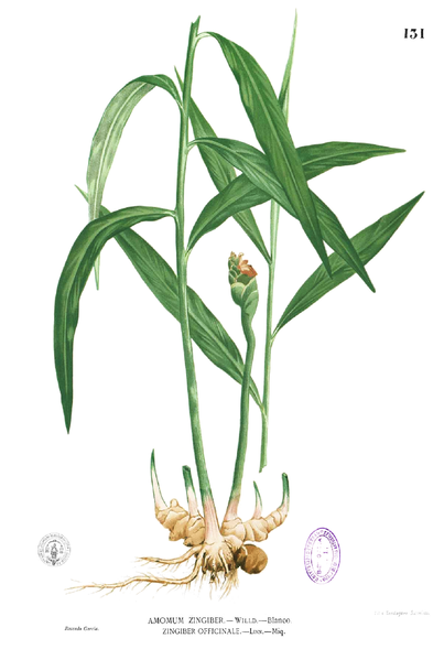 Ginger Root Plant